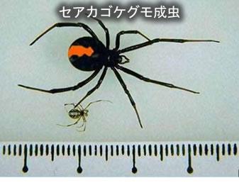 セアカゴケグモにご注意を!!/...